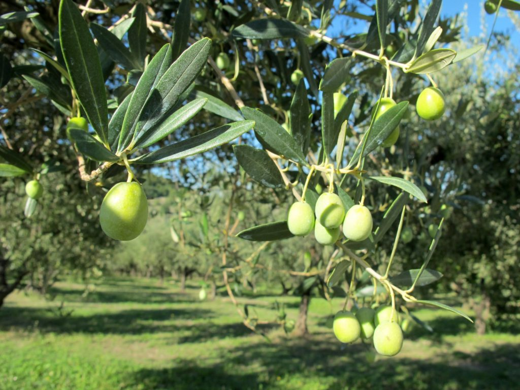 Olive Intosso